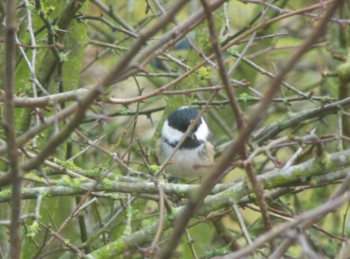 Coal Tit through the bedroom window