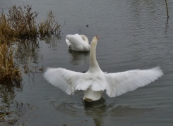 Mute Swan flapping