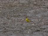 Yellow Wagtail Chiseldon