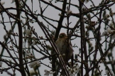 Lesser Redpoll at Coate