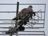 Turtle Dove Buscot