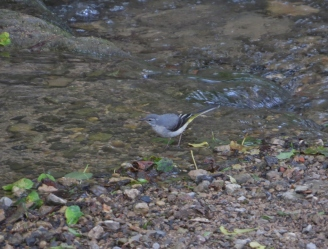 Grey Wagtail, By Brook