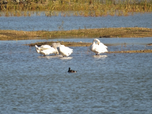 Four of the five Bewick's swans
