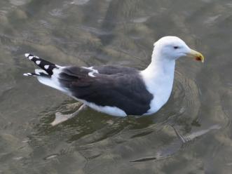 GBB Gull