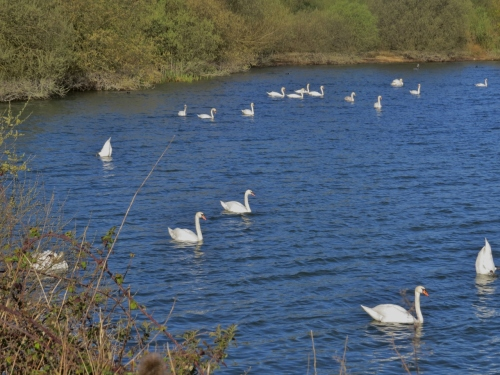 18 of the 56 Mute Swans