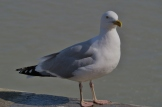 Gull at Le Treport