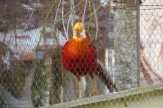 Captive Golden Pheasant