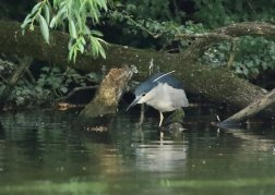 NIght_Heron